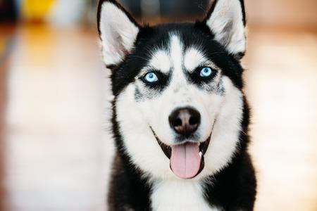 Close Up Head Young Happy Husky Puppy Eskimo Dog With Blue Eyes Archivio Fotografico