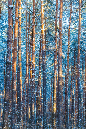 Winter Forest Trees  Natural Snowy Woods Background