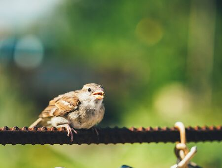 nestling: Young Bird Nestling House Sparrow Chick Baby Yellow-Beaked Passer Domesticus Sitting On Fence