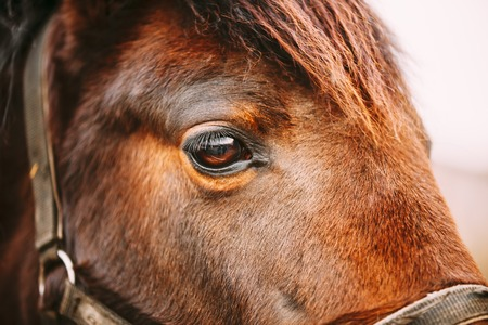 globo ocular: Cerca De Ar�biga Bay Horse- muy superficial Campo de Profundidad