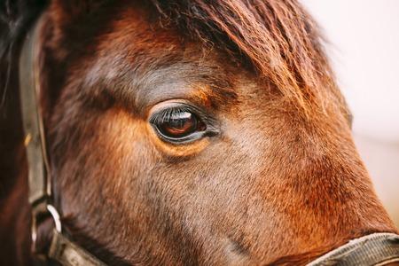 eyeball: Close Up Of Arabian Bay Horse- Very Shallow Field Of Depth Stock Photo