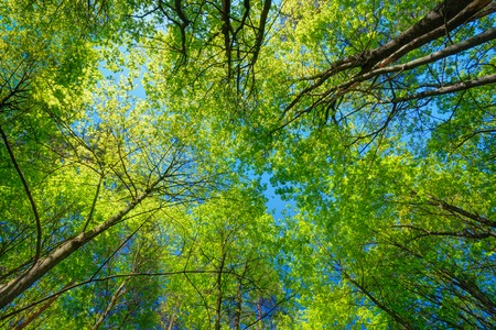 in the woods: Spring Summer Sun Shining Through Canopy Of Tall Trees. Sunlight In Deciduous Forest, Summer Nature. Upper Branches Of Tree. Low Angle View. Woods Background. Stock Photo