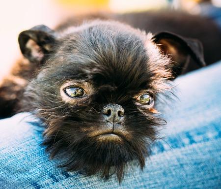 brussels griffon: Close Up Black Dog Griffon Bruxellois Brussels Griffon, Griffon Belge Sleeping On Womans Lap