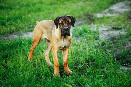 cane corso: Cane Corso Whelp Puppy Standing On Green Grass Outdoor Stock Photo