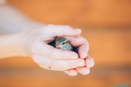 young bird: Young Bird Nestling House Sparrow - Passer Domesticus - Chick Baby Yellow-beaked In Female Hands On Brown Wooden Background Stock Photo