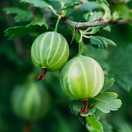 gooseberry bush: Verde Uva spina freschi. Growing bacche biologico Primo Piano Su Un Ramo Di Gooseberry Bush. Maturo Gooseberry Nel Frutta Giardino. Tonica Instant Photo