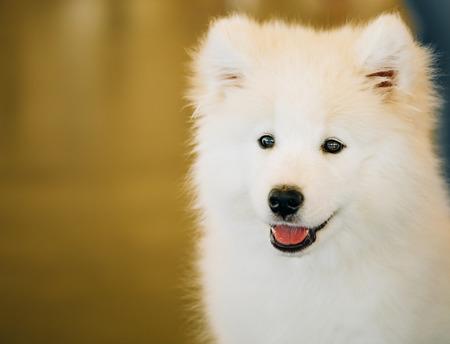 whelp: White Samoyed Dog Puppy Whelp Close Up Portrait