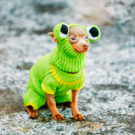 pet  animal: Beautiful Tiny Chihuahua Dog Dressed Up In Frog Outfit, Staying Outdoor In Spring