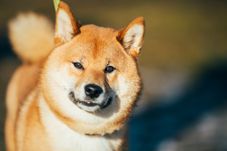snout: Close Up Head Snout Of Beautiful Young Red Shiba Inu Puppy Dog Staying Outdoor