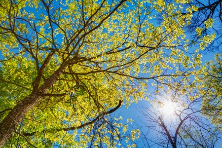 Spring Summer Sun Shining Through Canopy Of Tall Trees. Sunlight In Deciduous Forest, Summer Nature, Sunny Day. Upper Branches Of Tree With Fresh Green Foliage. Low Angle View. Woods Background Stockfoto
