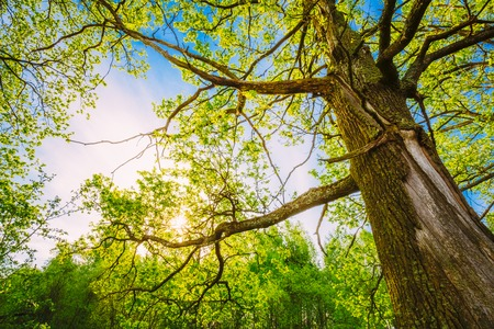 forest wood: Spring Sun Shining Through Canopy Of Tall Oak Trees. Upper Branches Of Tree. Sunlight Through Green Tree Crown - Low Angle View.