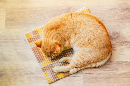 yellow: Peaceful Orange Red Tabby Cat Male Kitten Curled Up Sleeping In His Bed On Laminate Floor. Top View