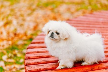 whelp: White Pekingese Pekinese Peke Whelp Puppy Dog Sitting On Wooden Bench In Autumn Park