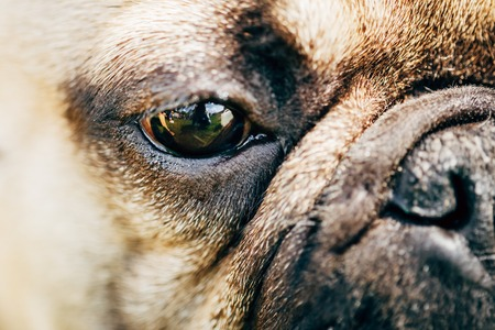 nose close up: Close Up Eye And Nose Dog French Bulldog Stock Photo