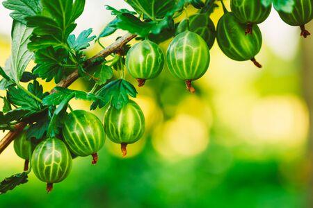 gooseberry bush: Fresh Green Gooseberries. Growing Organic Berries Closeup On A Branch Of Gooseberry Bush. Ripe Gooseberry In The Fruit Garden. Toned Instant Photo