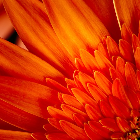 Macro Photo Of Orange Red Gerbera Flower CloseUp Detail Petals Background Stock Photo