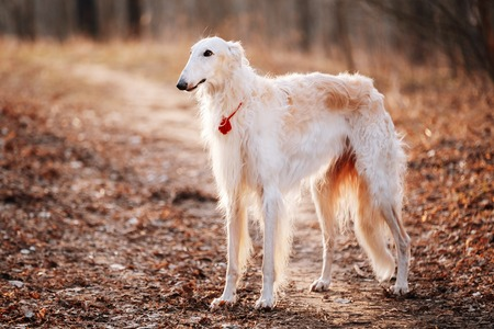 white russian: White Russian Wolfhound Dog