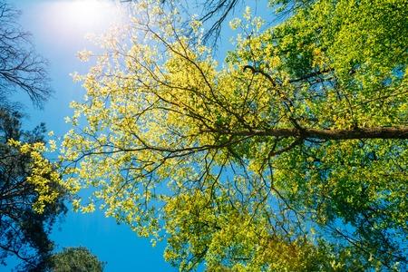 Spring Summer Sun Shining Through Canopy Of Tall Trees Stockfoto