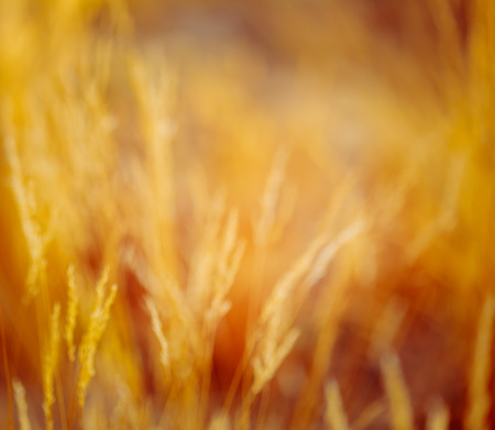 boke: Abstract Blurred Bokeh Background With Autumn Dry Grass. Boke Grass With Sunlight Colors Toned Image