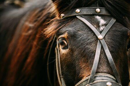 big eye: Close Up Of Arabian Bay Horse- Very Shallow Field Of Depth Stock Photo