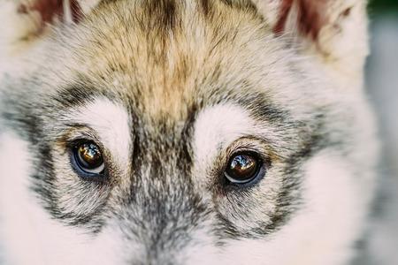 whelp: Close Up Of Eyes Of Husky Dog Puppy Whelp Stock Photo