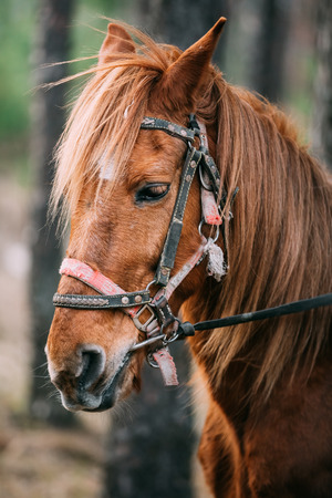 Close Up Portrait Of Brown Horse. Toned Instant Photo Stock Photo