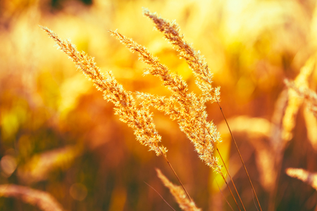 boke: Autumn Nature Natural Background Of Dry Grass. Bokeh, Boke Grass With Sunlight Colors Toned Image