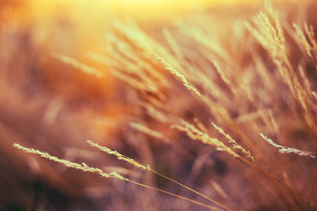 nature natural: Autumn Nature Natural Background Of Dry Grass. Bokeh, Boke Grass With Sunlight Colors Toned Image