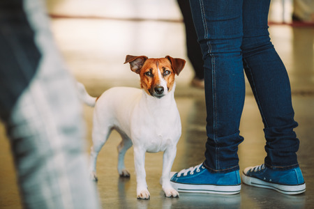 origins: White Dog Jack Russell Terrier is at the feet of owner. The Jack Russell Terrier is a small terrier that has its origins in fox hunting.