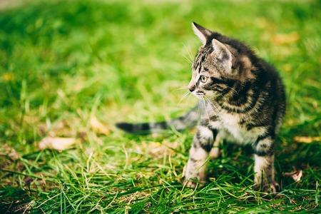 pussycat: Playful Cute Tabby Gray Cat Kitten Pussycat Play In Grass Outdoor, Sunny Summer Evening