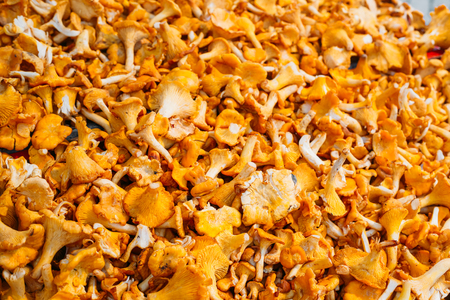 cantharellus: Pile Of Chanterelle Mushrooms For Cooking. Yellow Chanterelles - Cantharellus Cibarius Background Stock Photo