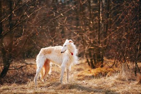 white  russian: White Russian Wolfhound Dog, Borzoi, Russian Hunting, Sighthound, Russkaya Psovaya Borzaya, Psovoi. Autumn Season