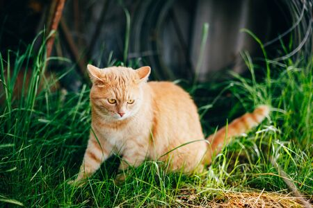 red cat: Red Cat Sitting On Green Spring Grass In Garden. Outdoor Summer Sunny Day Portrait Stock Photo
