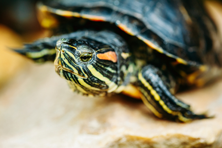 Small Red-ear Turtle, Pond Terrapin Sitting On Stone Stock Photo