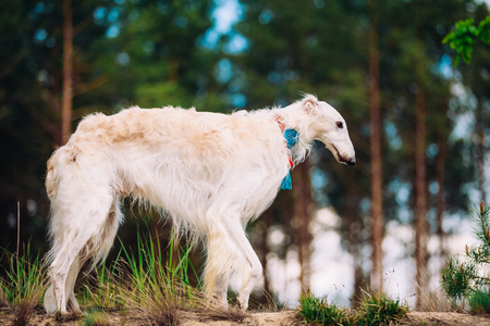 overpowering: White Russian Wolfhound Dog, Borzoi, Hunting dog, Sighthound in Spring Summer Forest. These dogs specialize in pursuing prey, keeping it in sight, and overpowering it by their great speed and agility
