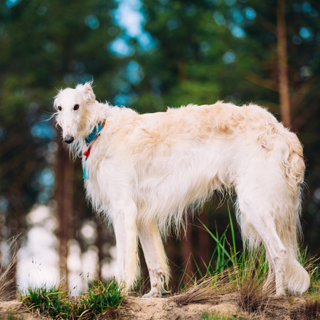specialize: White Russian Dog, Borzoi, Hunting dog in Spring Summer Forest. These dogs specialize in pursuing prey, keeping it in sight, and overpowering it by their great speed and agility Stock Photo