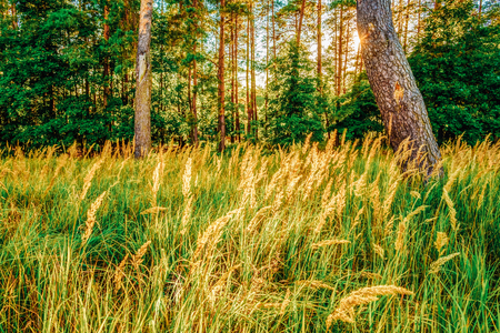 seson: Sunlight Sunset In Green Coniferous Forest, Autumn Seson
