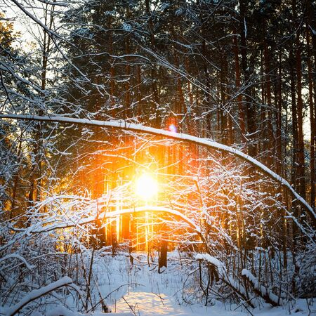 strains: Sun Rays Sunset In Winter Forest Woods Between The Trees Strains. Russian Nature