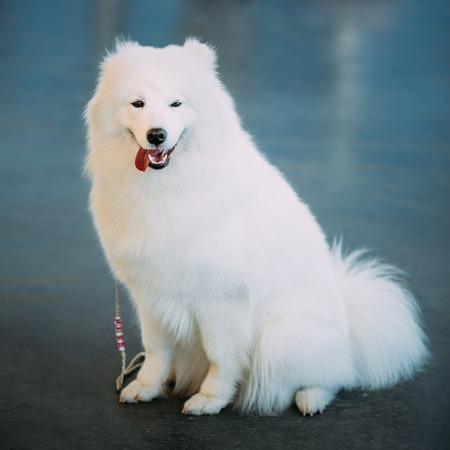 siberian samoyed: Happy White Samoyed Bjelkier Dog Sitting On Floor. The Samoyed is a breed of dog that takes its name from the Samoyedic peoples of Siberia.