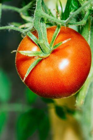 Red Growing Organic Tomato Closeup. Ripe Homegrown Tomato In Vegetable Garden