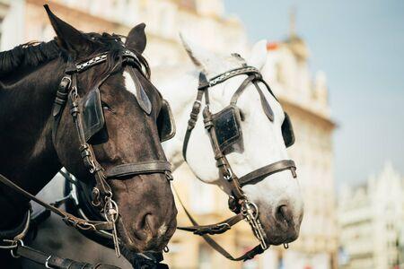 caballo: Dos Caballos - blanco y negro - se aprovechan a un carro para alejar a los turistas en la Plaza de la Ciudad Vieja de Praga