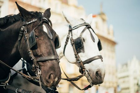 Two Horses - White And Black - Are Harnessed To A Cart For Driving Tourists In Prague Old Town Square