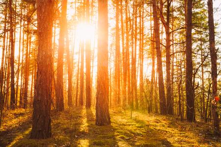 fall sunrise: Sunset Sunrise In Atumn Coniferous Forest Trees. Nature Woods. HDR Stock Photo