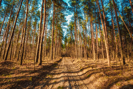 road and path through: Countryside road, path, walkway through forest. Sunset Sunrise In Autumn Coniferous Forest Trees. Nature Woods. Stock Photo