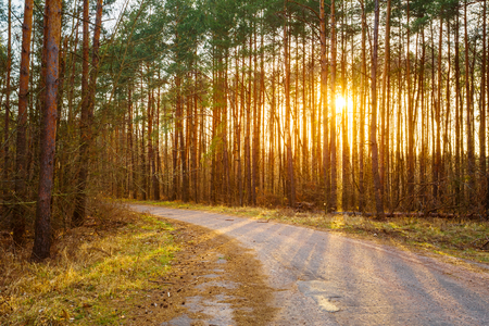 road and path through: Road, path, walkway through forest. Sunset Sunrise In Autumn Coniferous Forest Trees. Nature Woods. Stock Photo