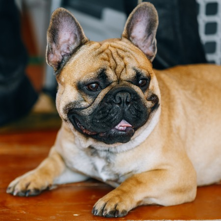 inddor: Funny Dog French Bulldog on floor inddor. The French Bulldog is a small breed of domestic dog