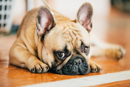 Triste perro Bulldog francés sentado en el piso interior. El Bulldog Francés es una raza de perro doméstico Foto de archivo