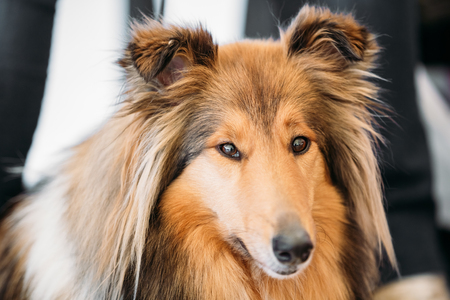 herding dog: The Shetland Sheepdog, often known as the Sheltie, Collie, is a breed of herding dog. They are vocal, excitable, energetic dogs who are always willing to please and work hard.