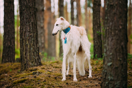 specialize: Borzoi, Hunting dog in Spring Summer Forest. These dogs specialize in pursuing prey, keeping it in sight, and overpowering it by their great speed and agility Stock Photo