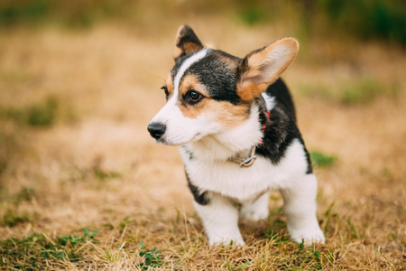 herding dog: Close up portrait of young Happy puppy Welsh Corgi dog in dry grass outdoor. The Welsh corgi is a small type of herding dog that originated in Wales